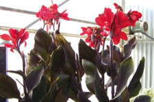 Canna 'Tropical Bronze Scarlet': 2010 Editor's Choice Nominee