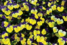 "Pansies, Violas And The ""What Else Is There"" Crowd"