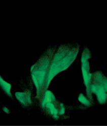 Glowing Plants:The Next Big Opportunity?