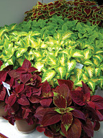 New Varieties Guide 2009: Ball Horticultural Co.