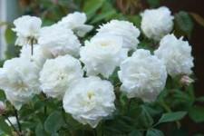 David Austin Roses Releases New Varieties