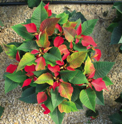 Finishing Poinsettias Cooler