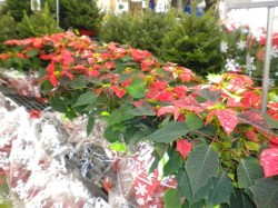 Slideshow: Jacksonville Poinsettia Retail