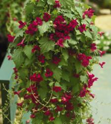 Lofos lophospermums from Suntory