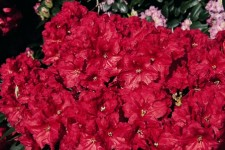 Briggs Nursery Introduces New Rhododendrons