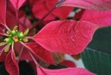 SePRO:Avoid Hachi-Hachi On Colored Poinsettias