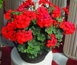 Top-Performing Geraniums In 100-Degree Heat