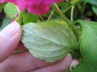 How To Overcome Downy Mildew Spread On Impatiens