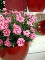 Spotlight On: 'Starburst' Dianthus
