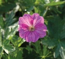 Spotlight On: 'Blushing Turtle' Geranium