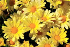 Argyranthemum 'Flutterby Yellow'