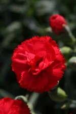 'SuperTrouper Scarlet Red Evol.' pot carnation