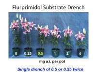 Figure 1. 'Star Gazer' oriental lilies (size 16/18 bulbs) treated with 4.0-fluid-ounce drenches providing flurprimidol at 0.0 to 4.0 mg a.i. per pot. Applying a single drench of 0.5 mg active ingredient (a.i.) per pot or two split applications of 0.25 mg a.i. controlled excessive stretch of Oriental lilies.