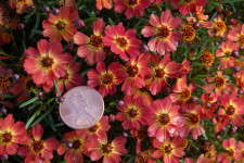 Coreopsis 'Little Penny'