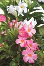Sun Parasol mandevillas, Suntory Flowers