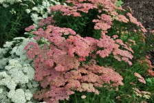 Achillea 'Peachy Seduction'