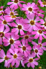 Coreopsis 'Pink Sapphire' from Terra Nova Nurseries