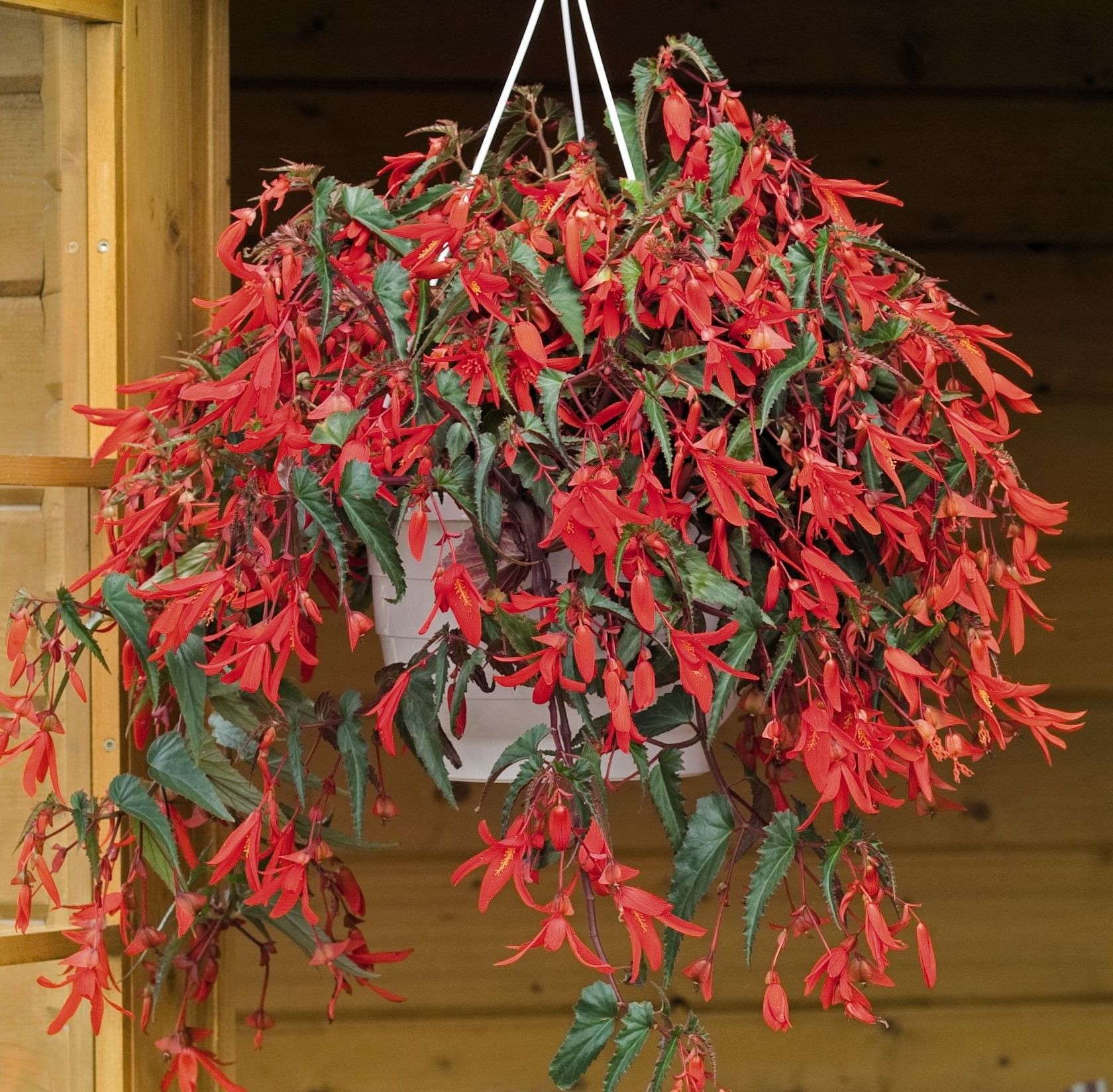 Hanging Flower Baskets In Full Sun : Begonia boliviensis santa cruz sunset is a medal of