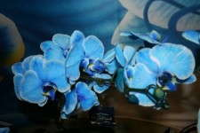 'Blue Diamond' orchid