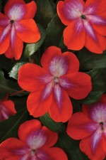 FloraPlant 'Patchwork Cosmic Orange' impatiens