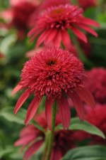 Darwin Perennials 'Double Scoop Cranberry' enchinacea