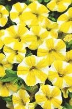 'Superbells Lemon Slice' from Proven Winners