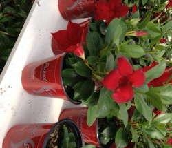 'Sun Parasol Garden Crimson' from Suntory