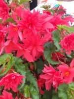 'Nordic Dawn' begonia