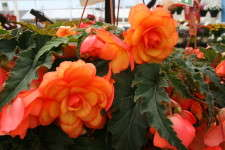 Begonia 'Arcadia Apricot Bicolor' From Ecke Ranch