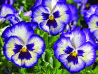 'WonderFall Blue Picotee Shades' from Syngenta Flowers