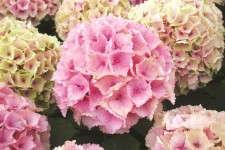 Hydrangea 'Everlasting Ocean' flowers change to dark pink and develop creamy picotee markings.