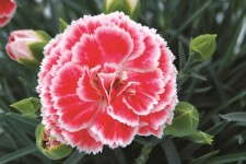 Dianthus 'Coral Reef'