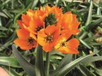 'Orange Star Improved' ornithogalum