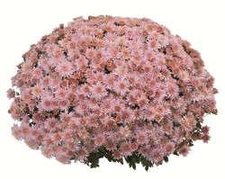 Chrysanthemum Mystic Mum Series from Fides Oro