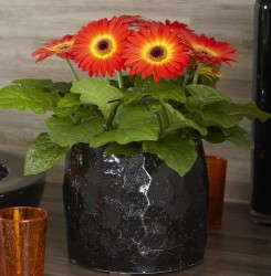 Gerbera 'Flori Line Dark Fireball' from Florist Holland