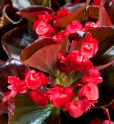 Begonia 'Gum Drops Coco Red'