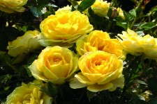 Rosa 'Yellow Sunblaze'