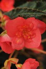 Begonia 'Bon Bon Cherry'