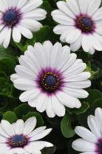 Osteospermum 'Akila White With Purple Eye'