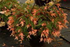 Begonia 'Summerwings Apricot' from Cultivaris