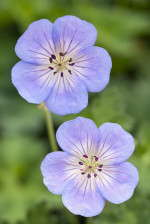 Geranium 'Azure Rush' from Blooms of Bressingham