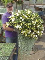 Scott Titus with a basket of Impatiens 'SunPatiens Spreading White' with Dichondra 'Silver Falls'