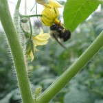 Greenhouse Tomato Bees