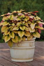 Coleus 'Honey Crisp' from Ball FloraPlant