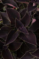 Coleus 'Vino' from Ball FloraPlant