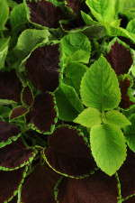 Coleus Chocolate Symphony Fuseables from PanAmerican Seed