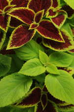 Coleus Under the Sun Fuseables from PanAmerican Seed