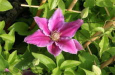 Clematis at six to eight weeks–Roseville Farms