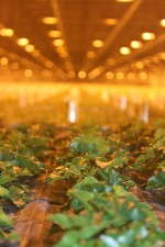 Dümmen has cataloged how much glue to add to plugs depending on the crop, weather, time of year and other variables.