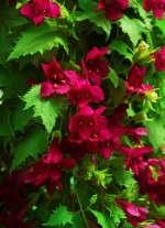 Lophospermums 'Lofos White Red'